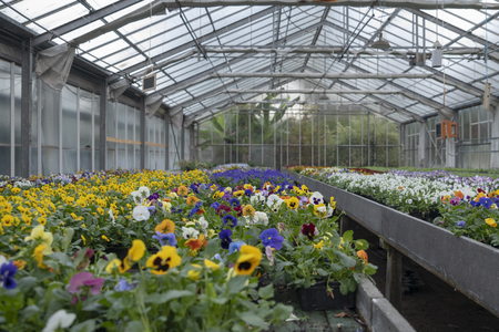 Growing pansy flowers of multi colors in the greenhouse