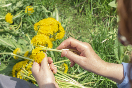 Woman weaves a wreath of dandelions Nature