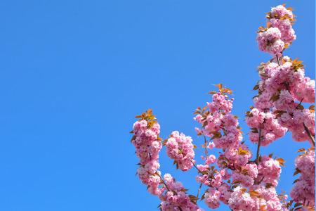 Spring pink cherry blossoms flowers Sakura season