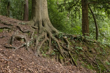 Big tree root ivy in a forest 版權商用圖片