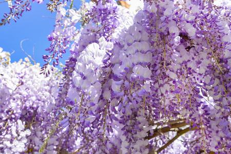 Blooming purple wisteria in spring in France 版權商用圖片