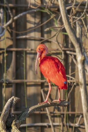 Ibis Red bird sitting on a tree branch 版權商用圖片