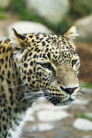Portrait of a predatory spotted animal Leopard 版權商用圖片