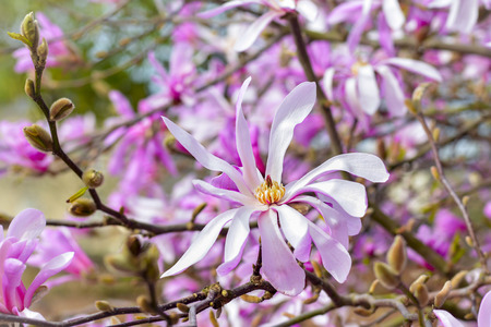Spring Blossoms of a Magnolia tree in France