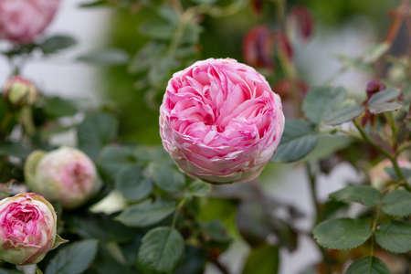 Beautiful english pink rose of David Austin Foto de archivo