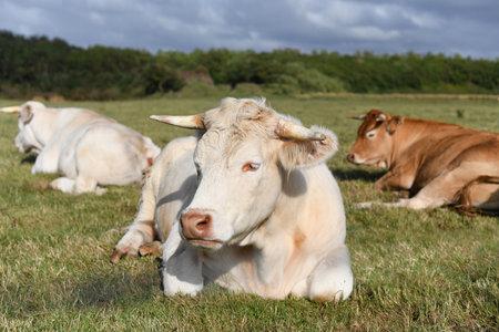 Alpine beige cow resting on the green grass