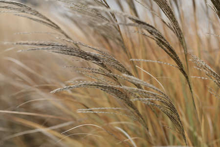 Dry reed. Minimal, stylish and trend concept. Natural background
