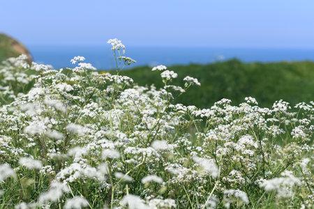 Seseli libanotis plant on chalk cliffs on the coast of the Atlantic ocean