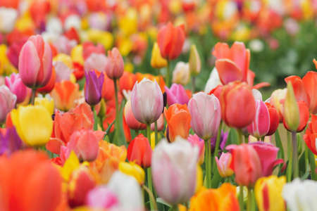 Multicolored tulip background in a park of Holland