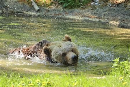Brown bear, Ursus arctos, swimming in a lake