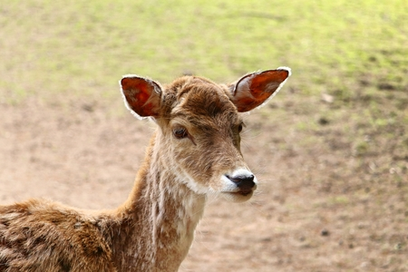 portrait of fallow deer (Cervidae) Stock Photo