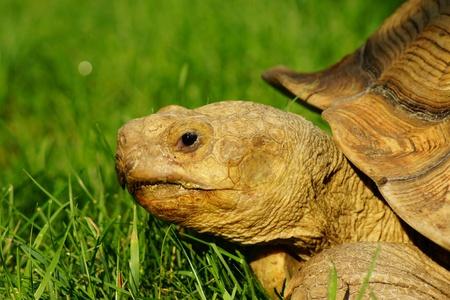 sulcata: African Sulcata Tortoise - Spur Thigh