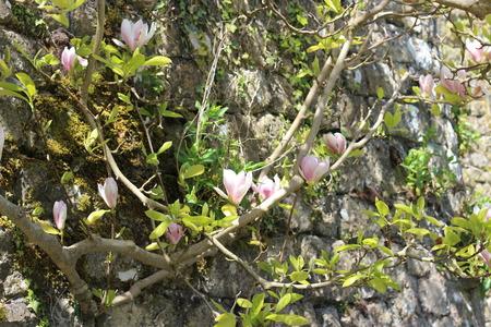 magnolia tree: Magnolia Tree in english garden