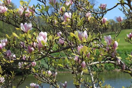 magnolia tree: Magnolia Tree