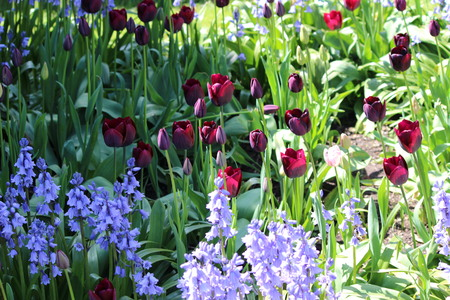 bluebells: Bluebells and Tulips in English Garden