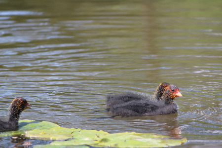 coot: Coot chicks