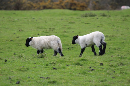 intrigued: Lambs on green field in spring Stock Photo