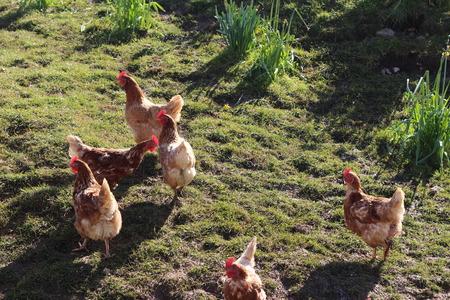 free range: Free Range Hens