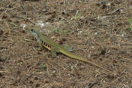 camouflaged: Camouflaged lizard, Thailand