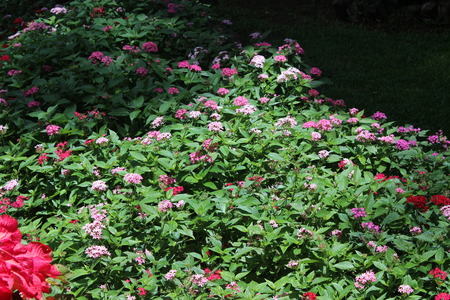 groundcover: Small pink flowers in garden