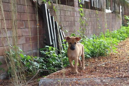 soi: Soi Dog Puppy in Thailand