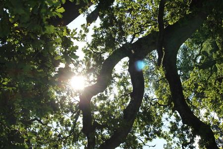 tree canopy: sunlight through tree canopy