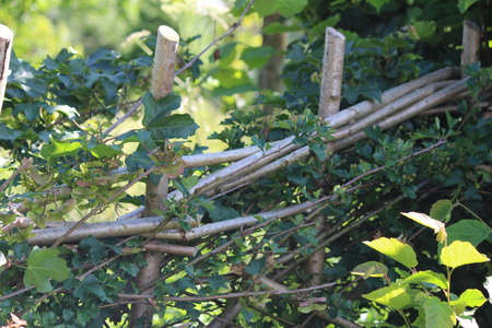 restoration: Hedge Laying, Restoration & Planting Stock Photo