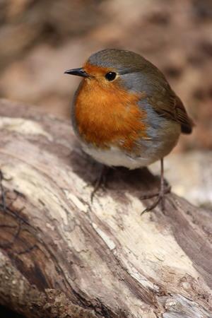 British wildbird robin in woodland garden Stock Photo