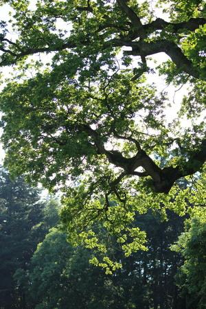 canopy: Canopy of tree, Light through trees