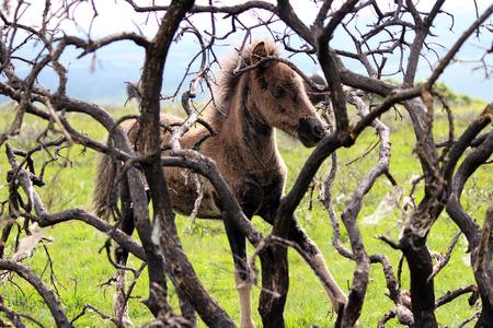 black moor: Dartmoor Pony, Young Foal, Dartmoor National Park, UK