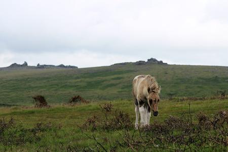 Dartmoor Pony, Young Foal, Dartmoor National Park, UK