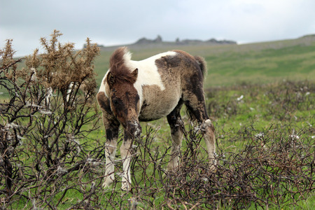 Dartmoor Pony, Young Foal, Dartmoor National Park, UK