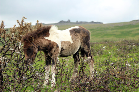 Dartmoor Pony, Young Foal scratching on bush Stock Photo