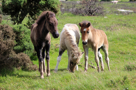 Dartmoor Baby Foals playing, Dartmoor National Park, UK Stock Photo
