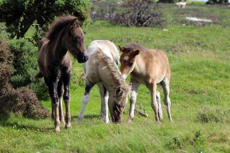Dartmoor Baby Foals playing, Dartmoor National Park Stock Photo
