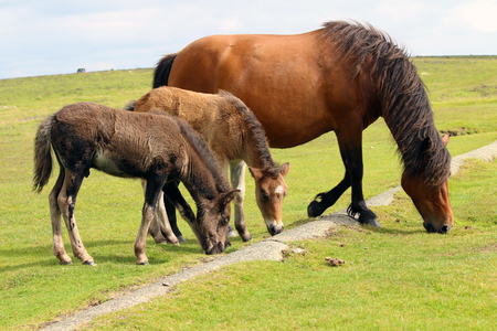 Dartmoor Pony and 2 Foals, Dartmoor National Park, Uk