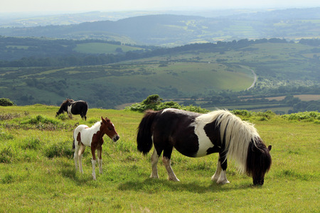 black moor: Dartmoor Pony and Foal, Dartmoor National Park