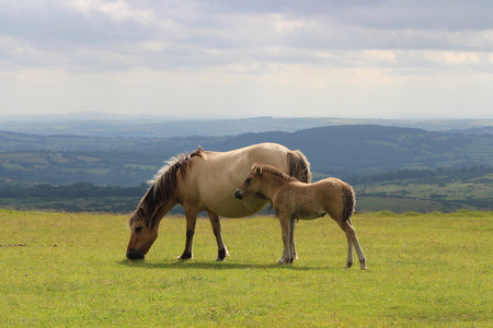 Dartmoor  Pony and Foal, Dartmoor National Park Stock Photo