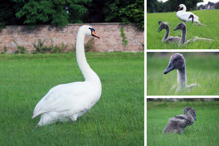 Mother Swan and Cygnets - Photo Compilation