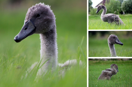 compilation: Cygnets - Photo Compilation Stock Photo