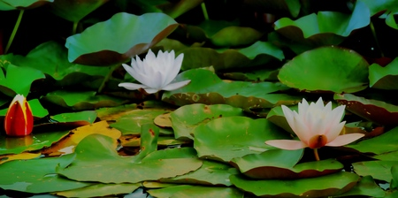 lily pads: flowers on lily pads