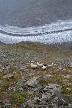 aletsch: sheeps on the aletsch glacier