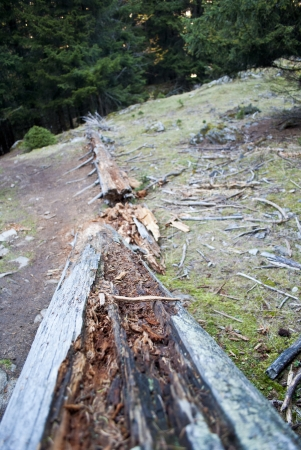 aletsch: trunk of a pine in aletsch forest