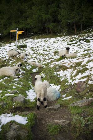 swiss alps: a flock of sheeps in swiss alps