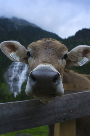 young cow: young cow in stubaital at dusk
