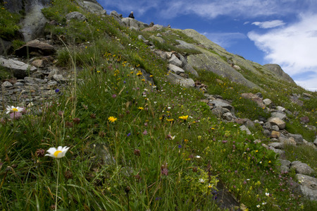 swiss alps: flowers in the wind in swiss alps
