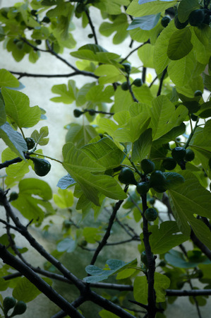 leaves of a fig tree Stock Photo