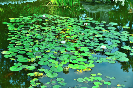 Nymphaea tetragona blooms in the pond. Riviera Park, Sochi, Russia.