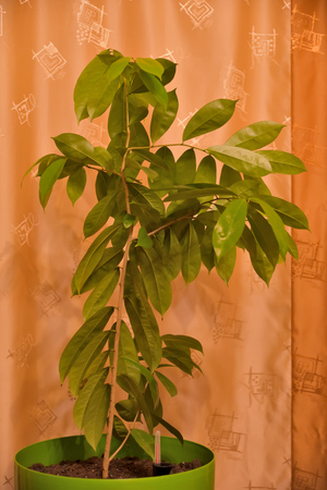 Guanabana is a tropical tree in the home grown from sunflower seeds, 2 years old.