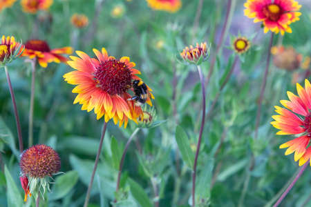 On a summer day, the bee collects nectar from Rudbekija flowers and carries pollen.